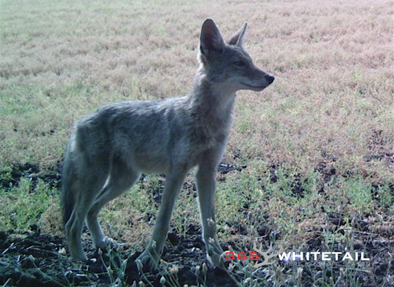 Calling Coyotes Six Tips