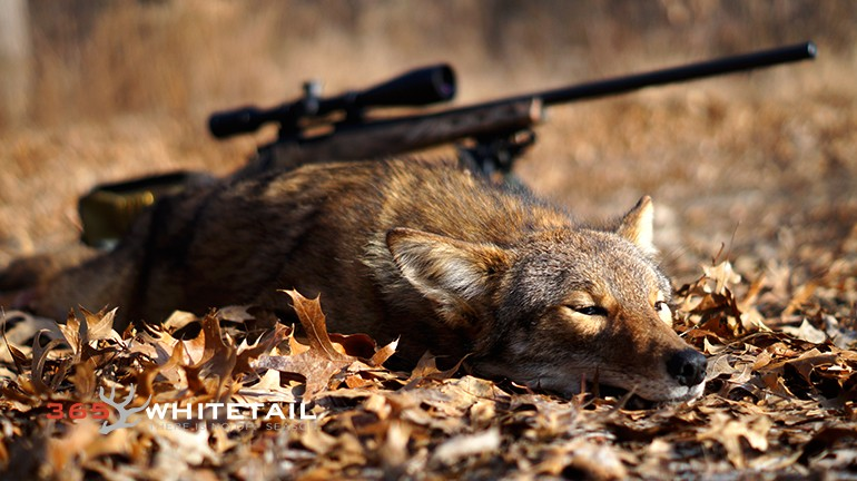 Coyote Hunting For Beginners