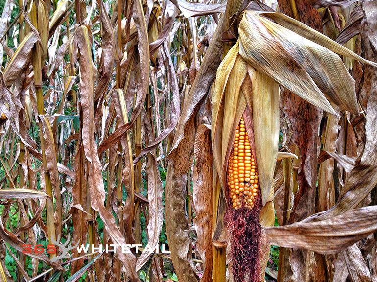 Stalking whitetail in corn fields