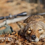 Tips For Calling Coyotes