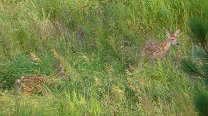 Coyotes And Whitetail Fawn Recruitment
