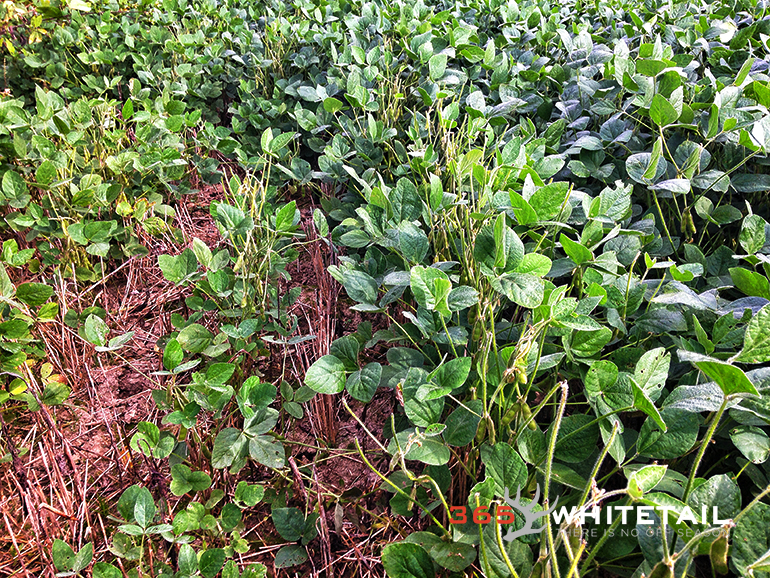 field crops and whitetail