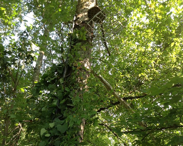 grapevine around treestand