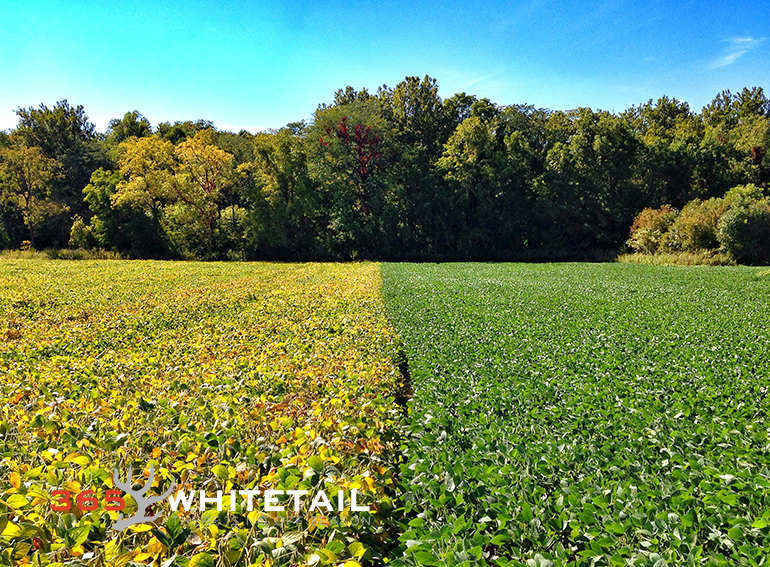 soybeans and whitetails
