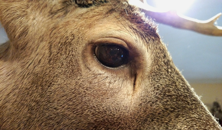 whitetail pre orbital gland location